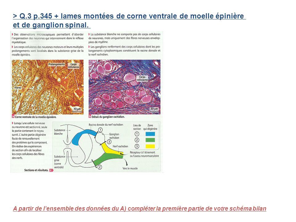 > Q.3 p.345 + lames montées de corne ventrale de moelle épinière