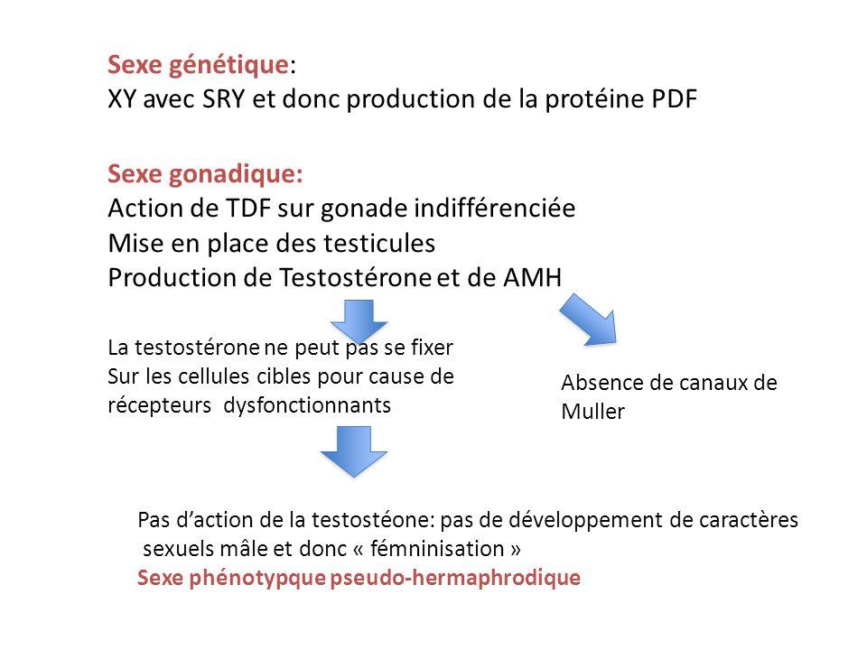 XY avec SRY et donc production de la protéine PDF