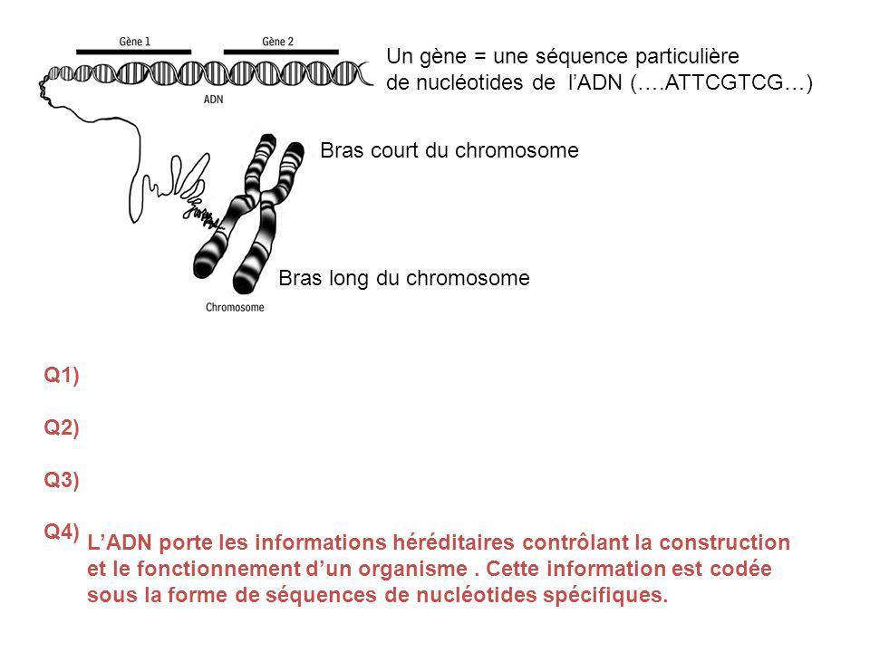 Un gène = une séquence particulière