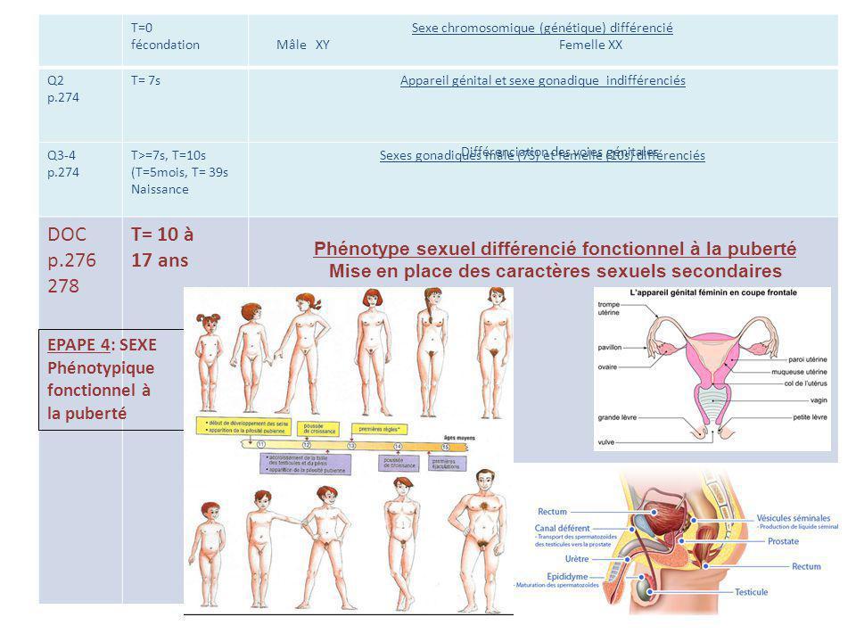 T=0 fécondation. Sexe chromosomique (génétique) différencié.