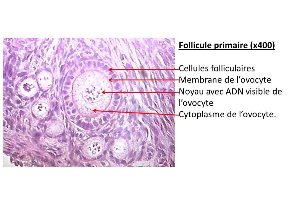 Follicule primaire (x400)
