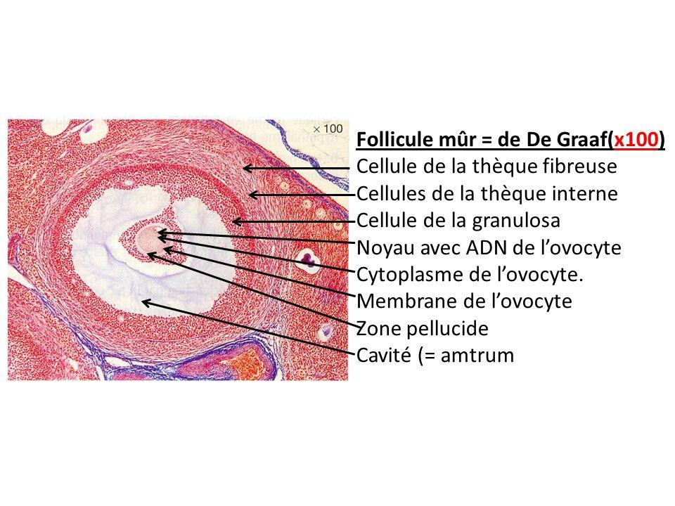 Follicule mûr = de De Graaf(x100)