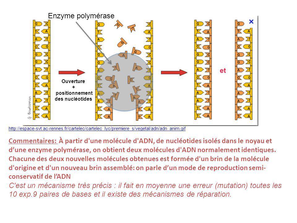 Enzyme polymérase Ouverture. + positionnement. des nucléotides.