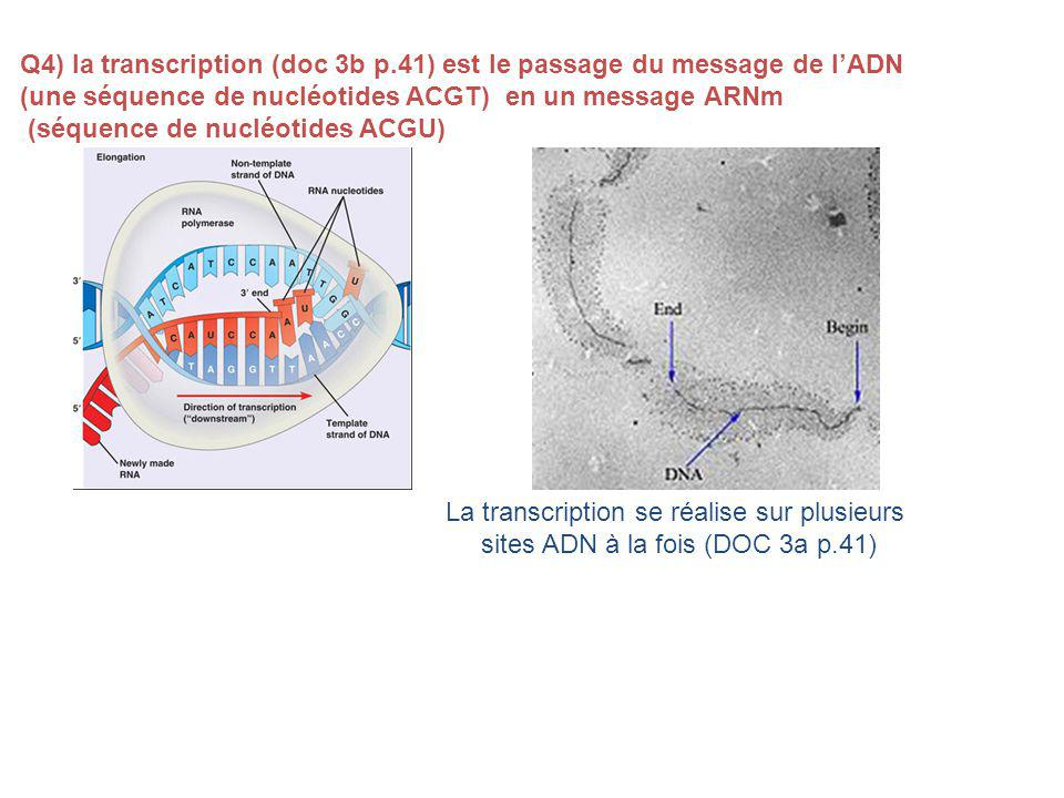 Q4) la transcription (doc 3b p.41) est le passage du message de l'ADN