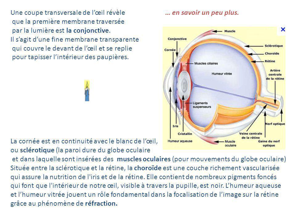 Une coupe transversale de l'œil révèle