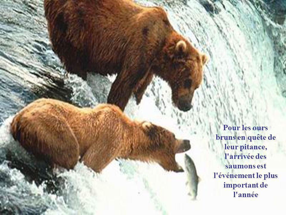 Pour les ours bruns en quête de leur pitance, l arrivée des saumons est l événement le plus important de l année