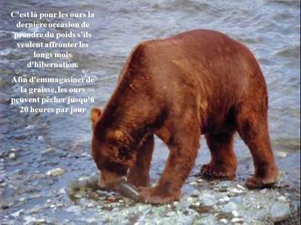 C est là pour les ours la dernière occasion de prendre du poids s ils veulent affronter les longs mois d hibernation.
