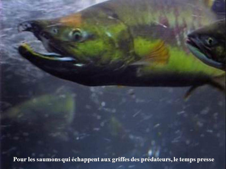 Pour les saumons qui échappent aux griffes des prédateurs, le temps presse
