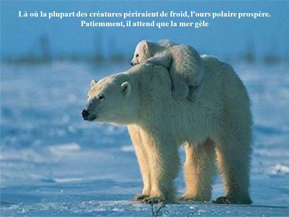Là où la plupart des créatures périraient de froid, l ours polaire prospère.