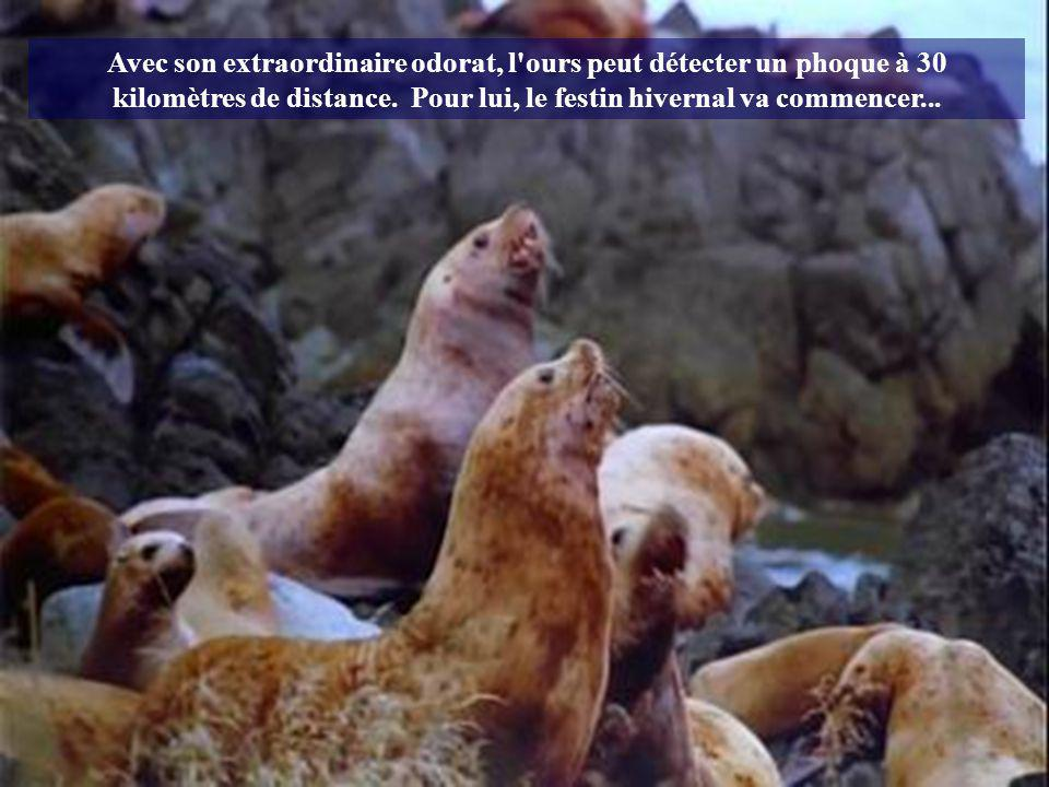 Avec son extraordinaire odorat, l ours peut détecter un phoque à 30 kilomètres de distance.