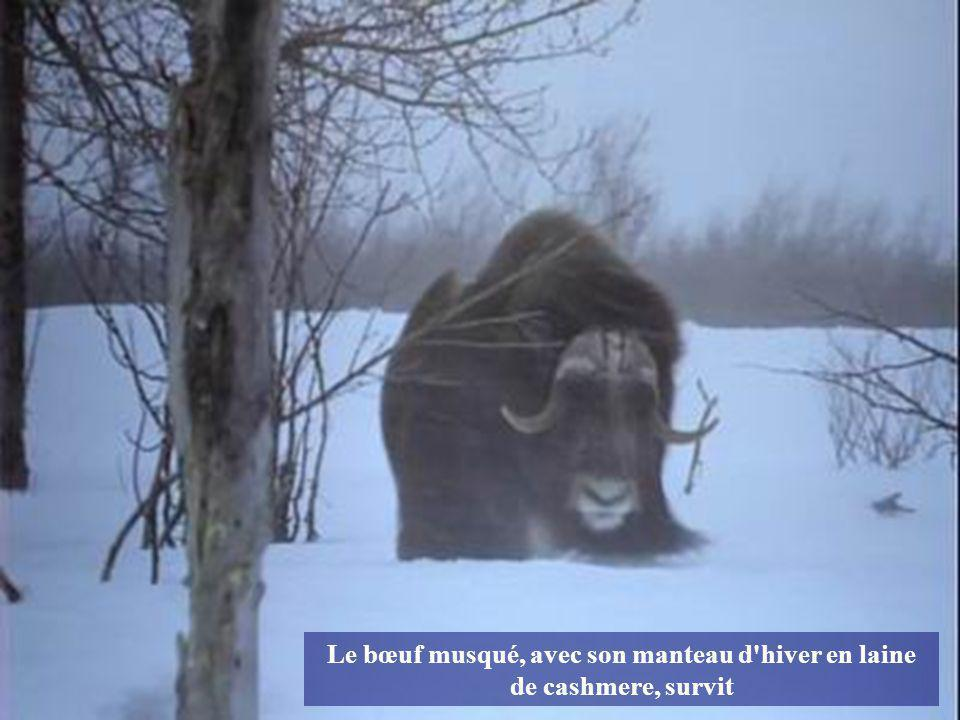 Le bœuf musqué, avec son manteau d hiver en laine de cashmere, survit