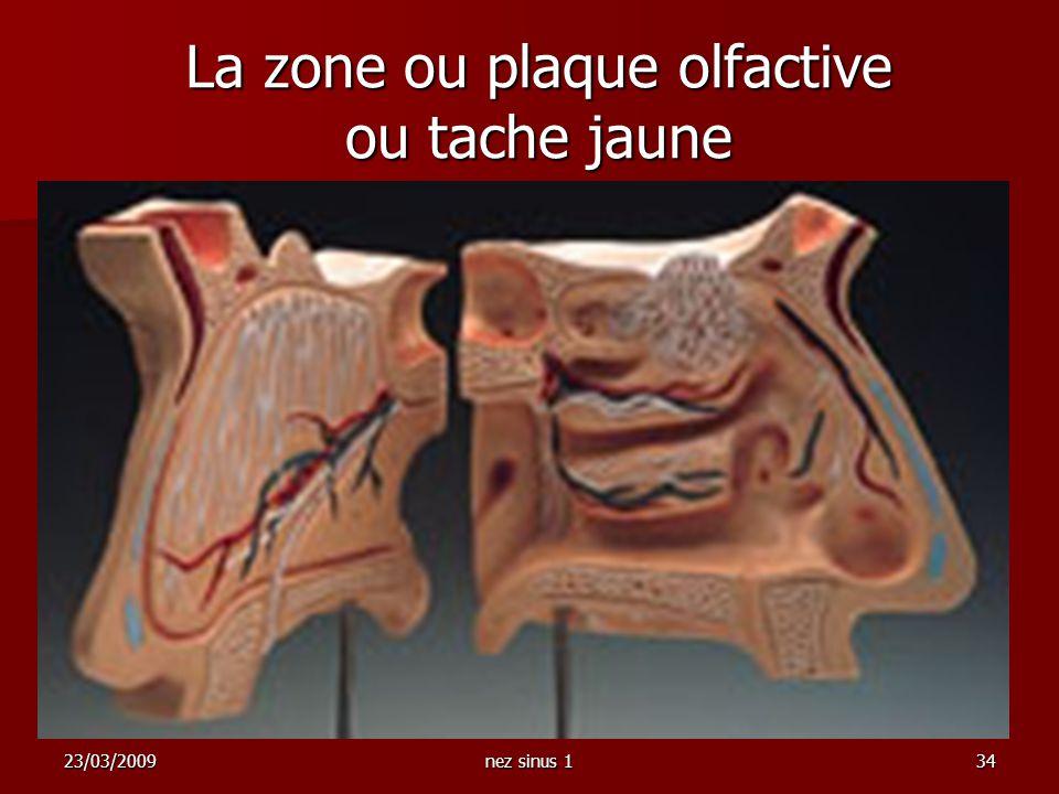 La zone ou plaque olfactive ou tache jaune