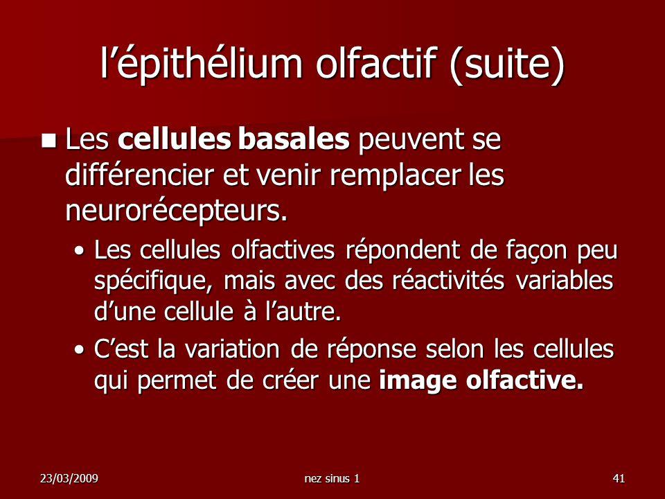l'épithélium olfactif (suite)