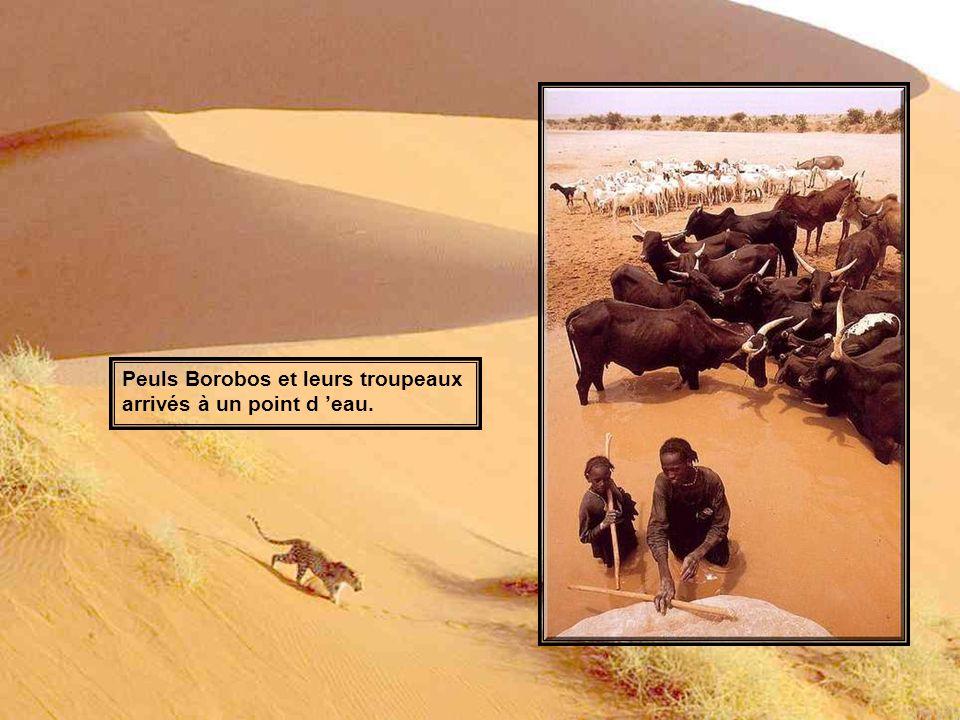 Peuls Borobos et leurs troupeaux