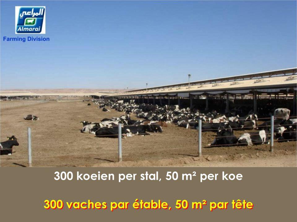 300 koeien per stal, 50 m² per koe