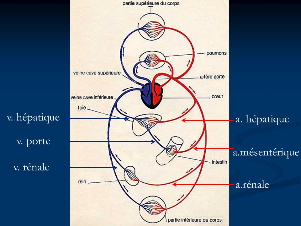 v. hépatique a. hépatique v. porte a.mésentérique v. rénale a.rénale