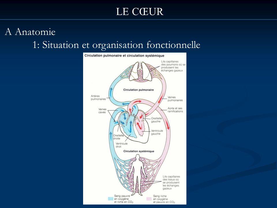 LE CŒUR A Anatomie 1: Situation et organisation fonctionnelle