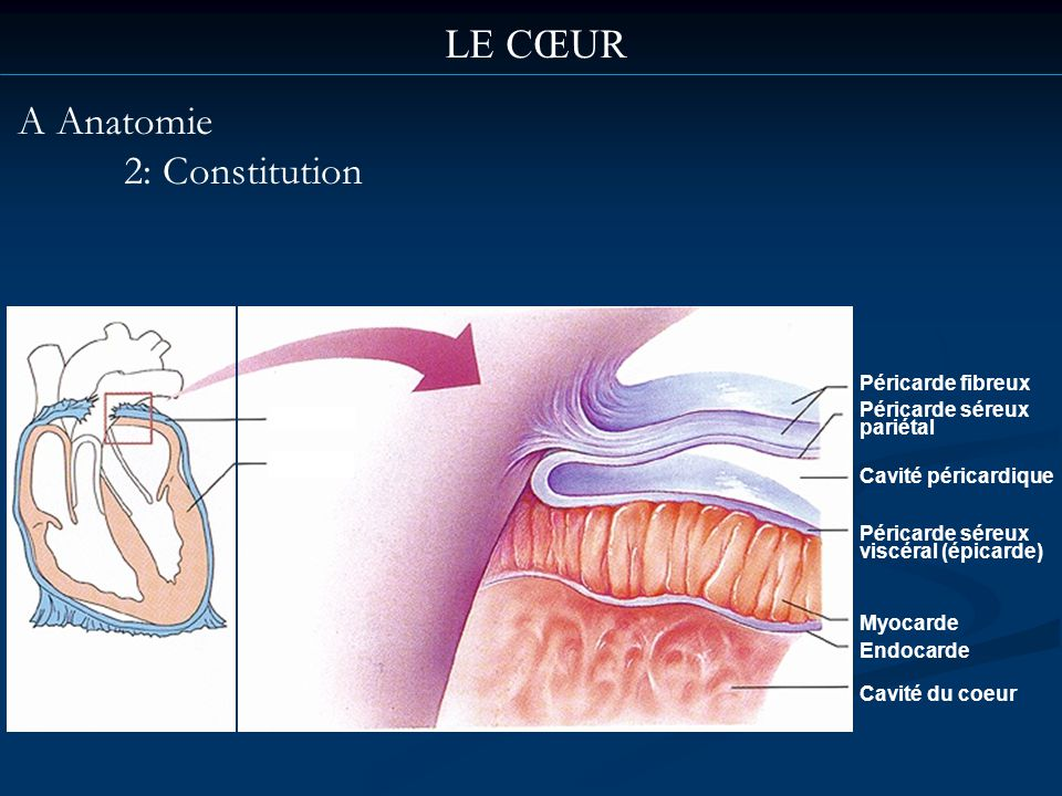 LE CŒUR A Anatomie 2: Constitution Péricarde fibreux Péricarde séreux