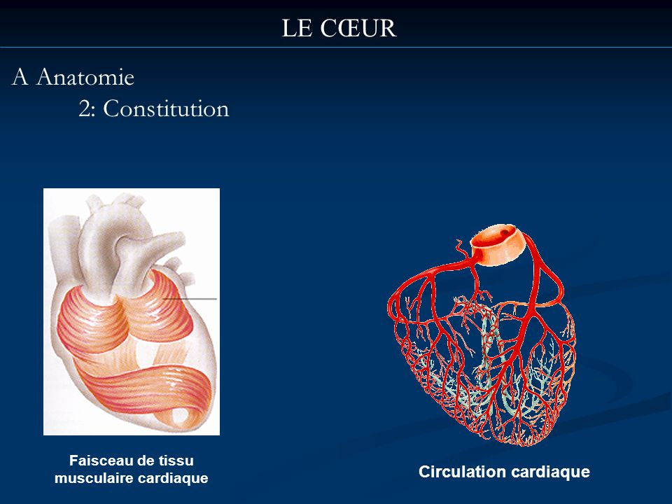 Faisceau de tissu musculaire cardiaque Circulation cardiaque