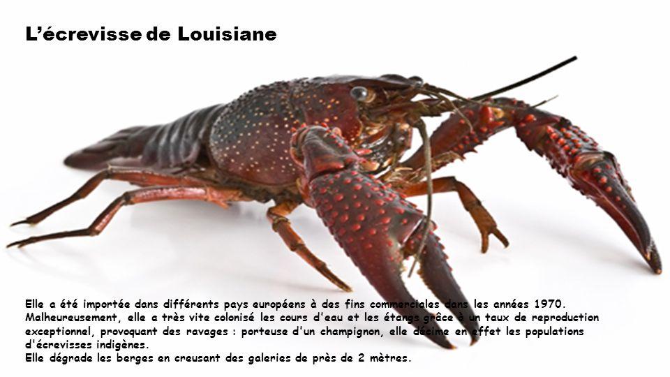 L'écrevisse de Louisiane