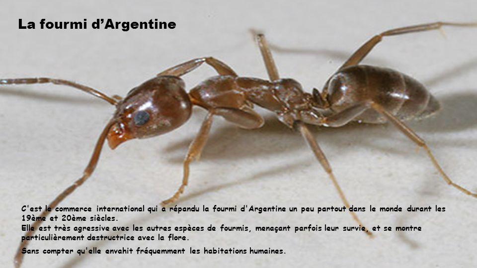 La fourmi d'Argentine