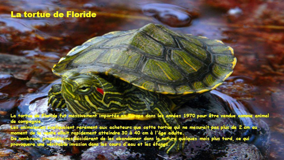 La tortue de Floride La tortue de Floride fut massivement importée en Europe dans les années 1970 pour être vendue comme animal de compagnie.