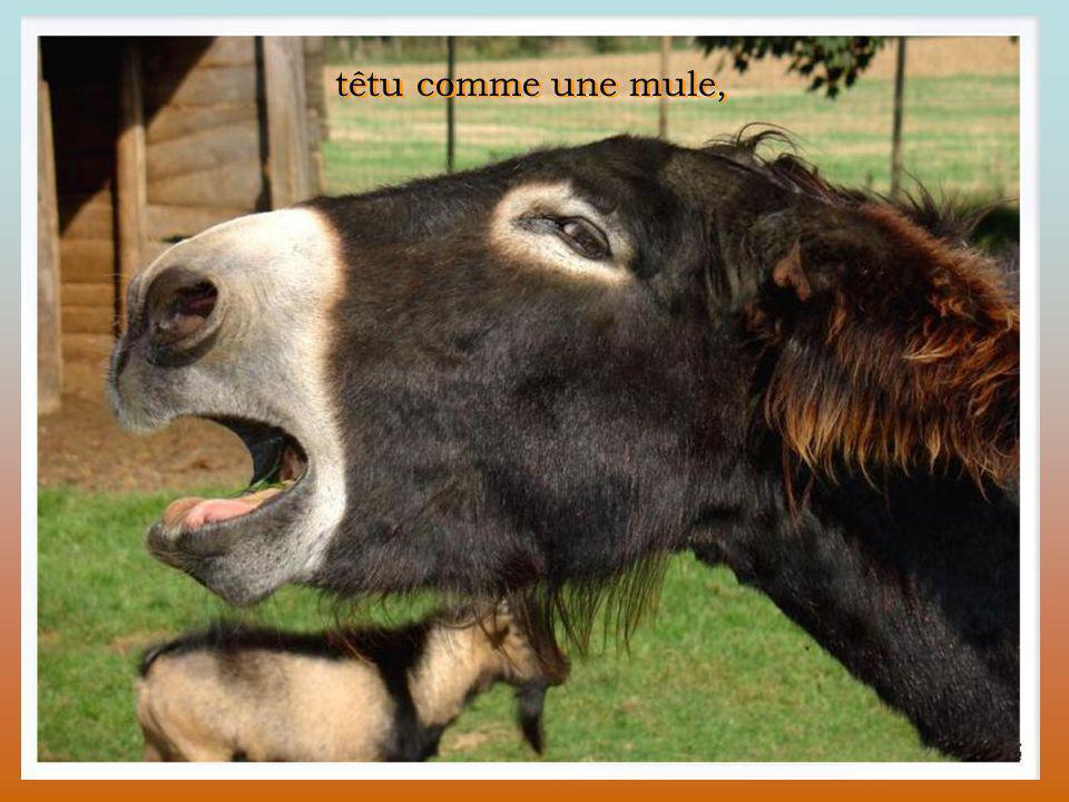 têtu comme une mule,