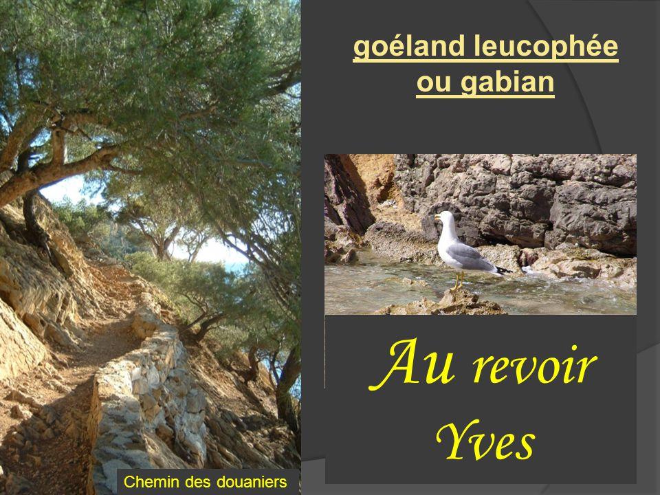 goéland leucophée ou gabian