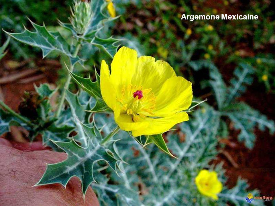 Argemone Mexicaine