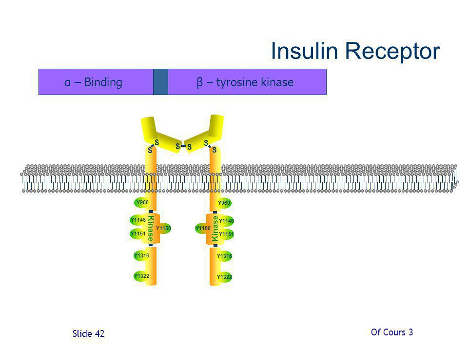 Insulin Receptor α – Binding β – tyrosine kinase Of Cours 3 S Kinase