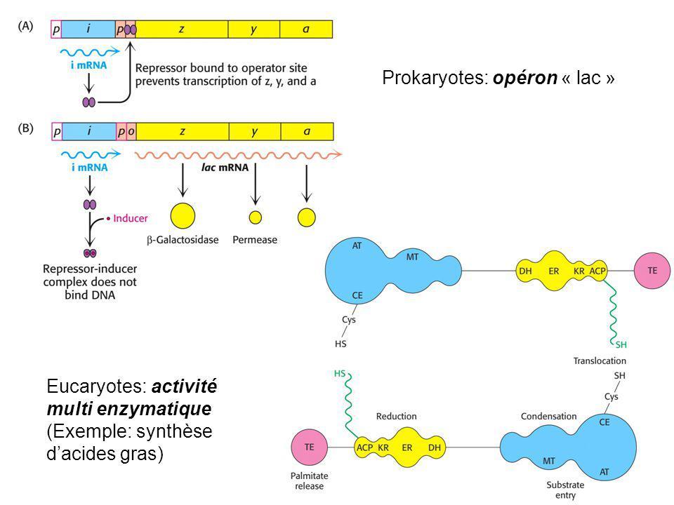 Prokaryotes: opéron « lac »