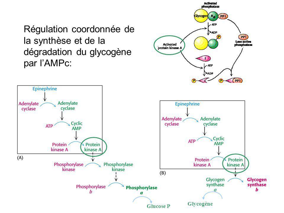 Régulation coordonnée de la synthèse et de la dégradation du glycogène par l'AMPc: