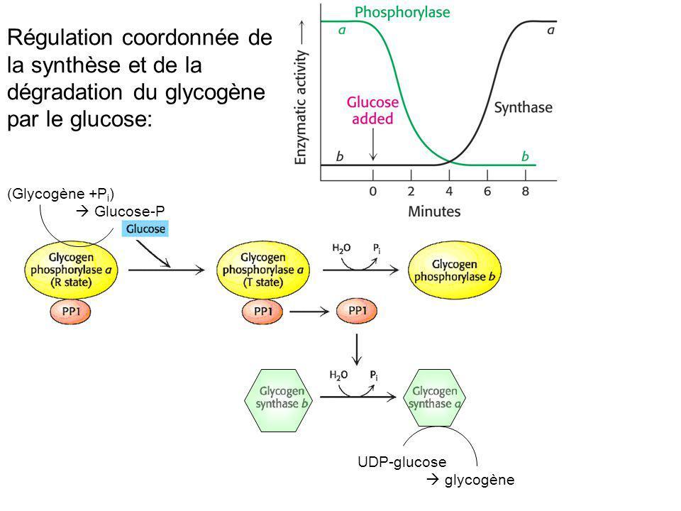 Régulation coordonnée de la synthèse et de la dégradation du glycogène par le glucose: