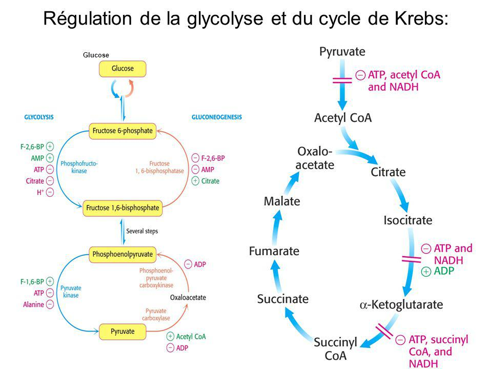 Régulation de la glycolyse et du cycle de Krebs: