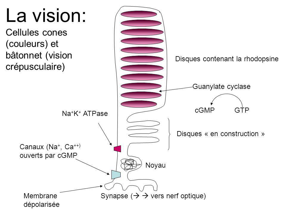 La vision: Cellules cones (couleurs) et bâtonnet (vision crépusculaire) Disques contenant la rhodopsine.