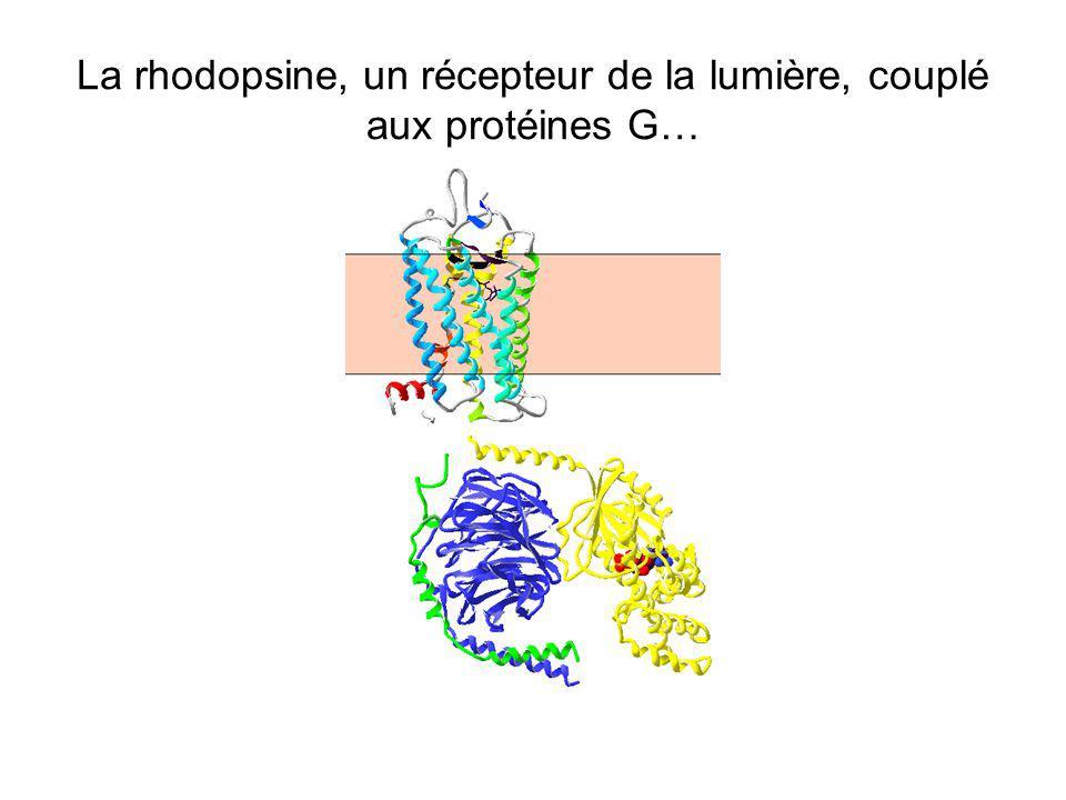 La rhodopsine, un récepteur de la lumière, couplé aux protéines G…