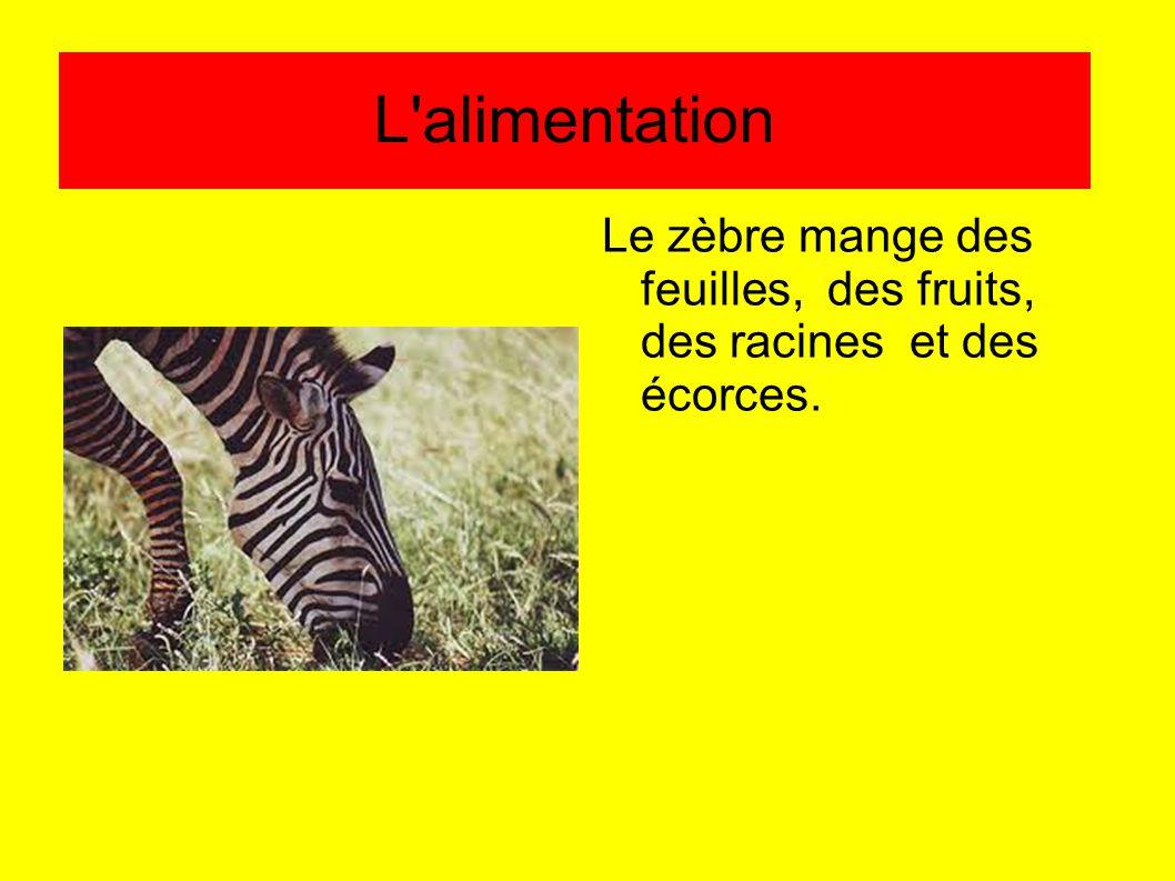 L alimentation Le zèbre mange des feuilles, des fruits, des racines et des écorces.