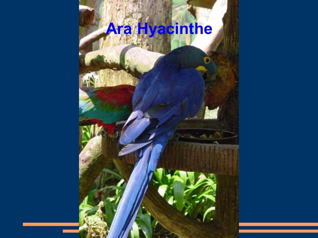Ara Hyacinthe
