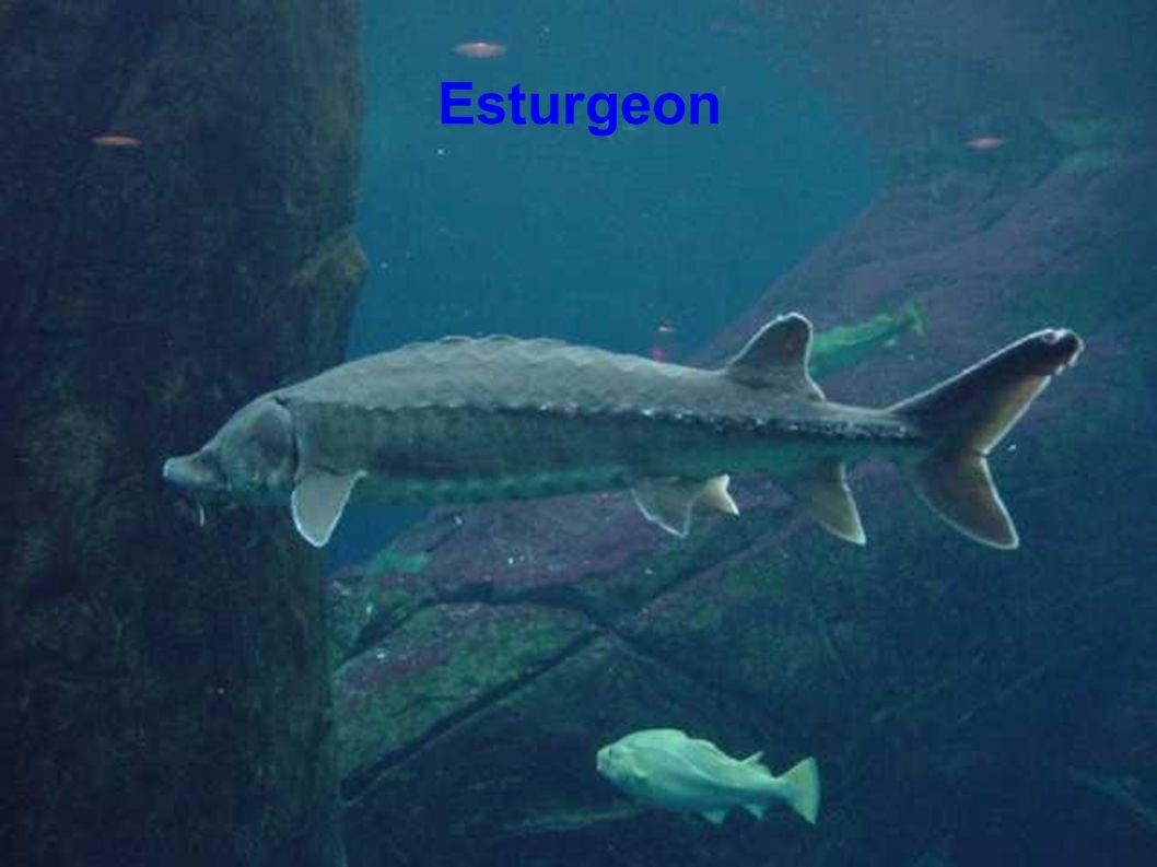Esturgeon