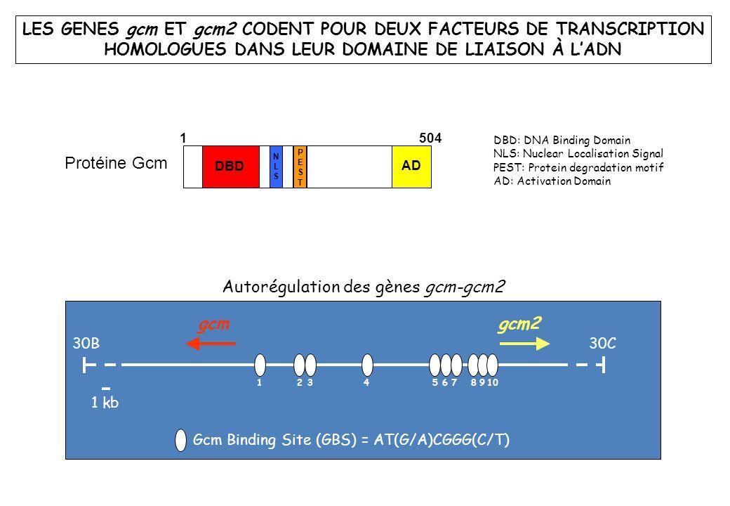 LES GENES gcm ET gcm2 CODENT POUR DEUX FACTEURS DE TRANSCRIPTION