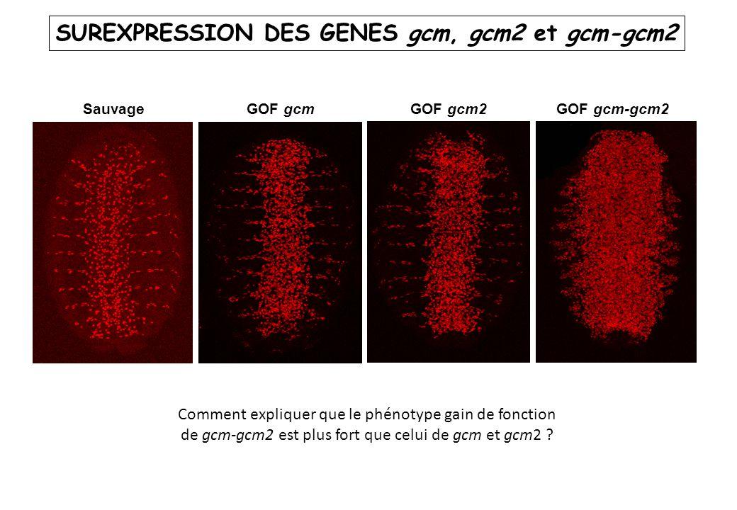 SUREXPRESSION DES GENES gcm, gcm2 et gcm-gcm2
