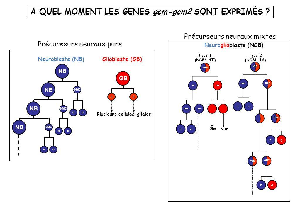 A QUEL MOMENT LES GENES gcm-gcm2 SONT EXPRIMÉS