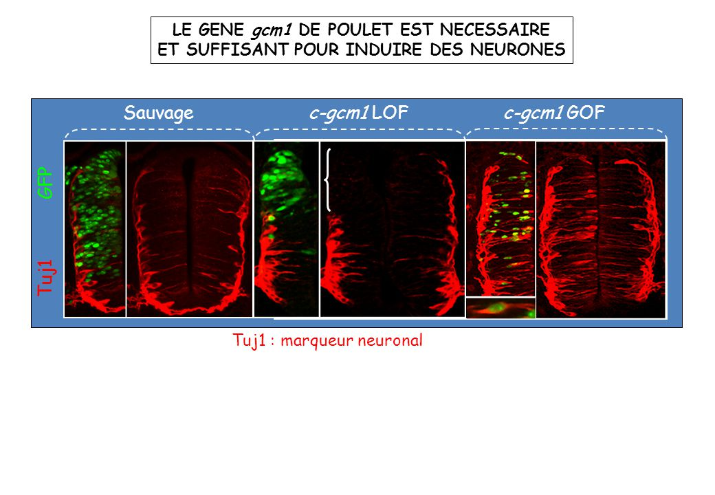 Sauvage c-gcm1 LOF c-gcm1 GOF Tuj1 GFP