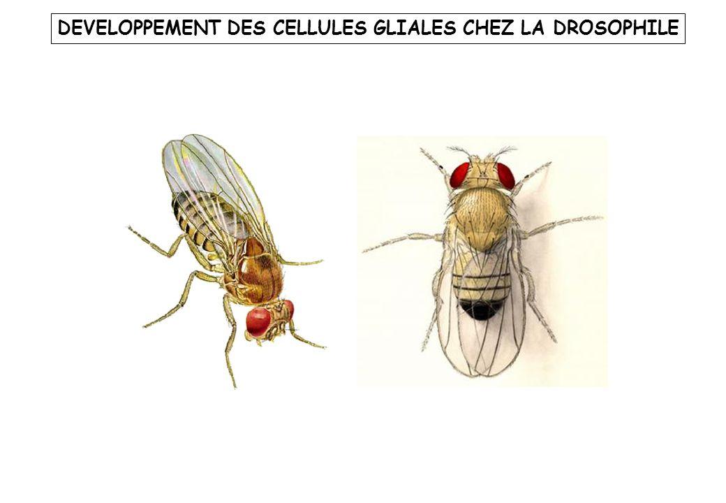 DEVELOPPEMENT DES CELLULES GLIALES CHEZ LA DROSOPHILE