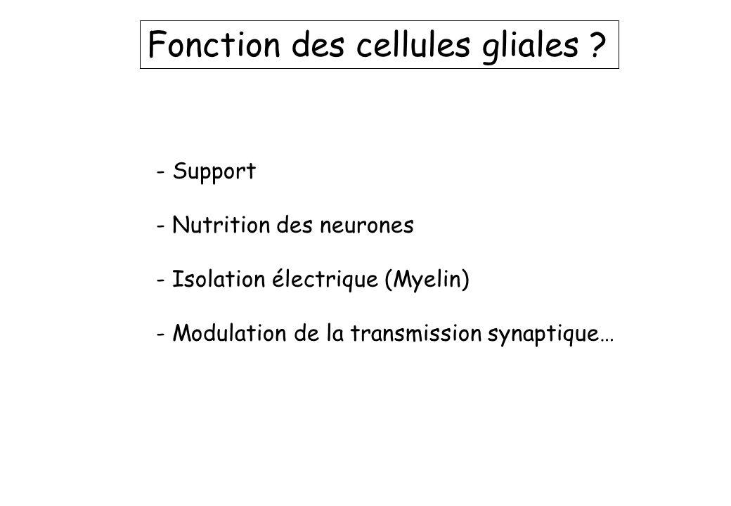Fonction des cellules gliales