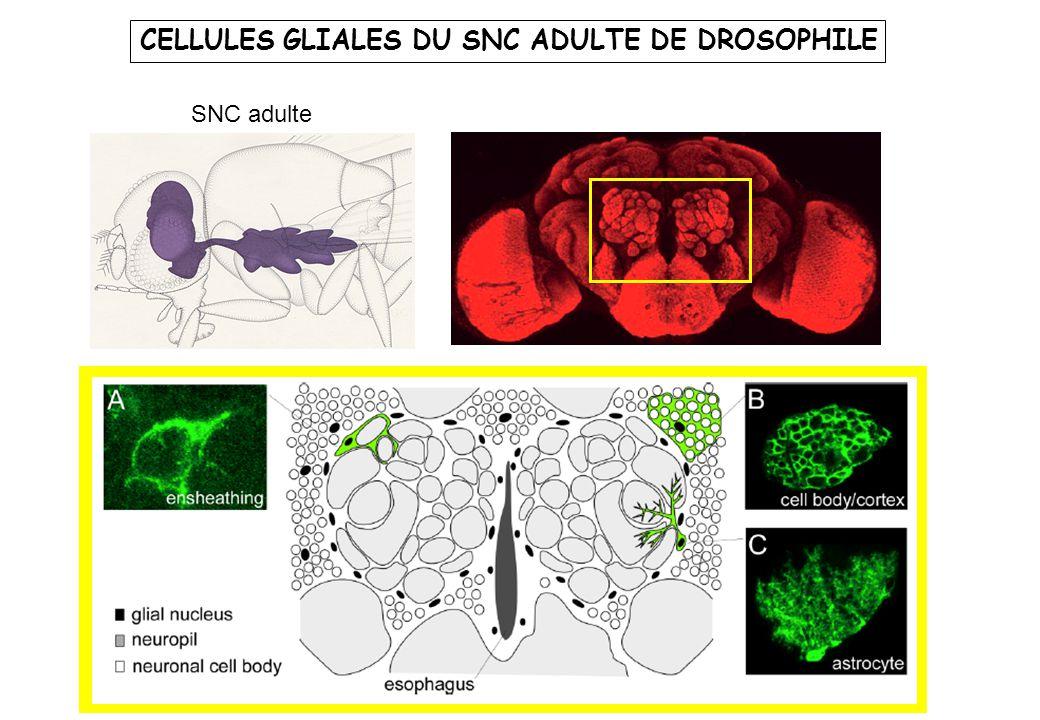 CELLULES GLIALES DU SNC ADULTE DE DROSOPHILE
