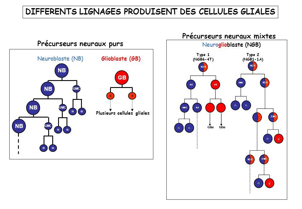 DIFFERENTS LIGNAGES PRODUISENT DES CELLULES GLIALES