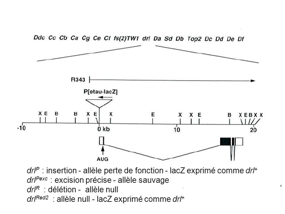 drlP : insertion - allèle perte de fonction - lacZ exprimé comme drl+