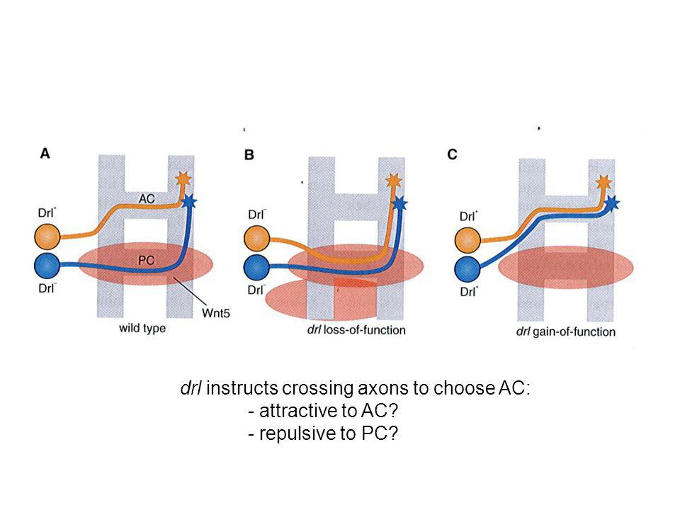 drl instructs crossing axons to choose AC: