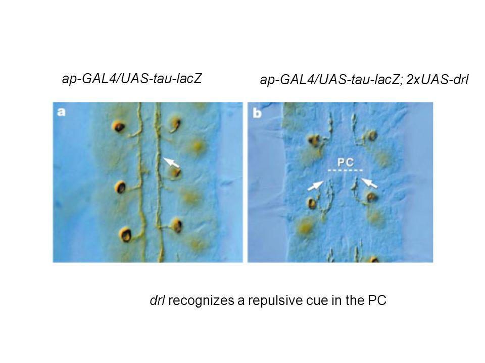 ap-GAL4/UAS-tau-lacZ ap-GAL4/UAS-tau-lacZ; 2xUAS-drl drl recognizes a repulsive cue in the PC